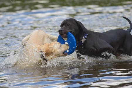 labs playing in the water